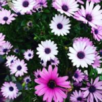 Plantines Florales