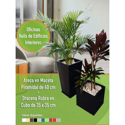 Combo Areca + Dracena Rubra
