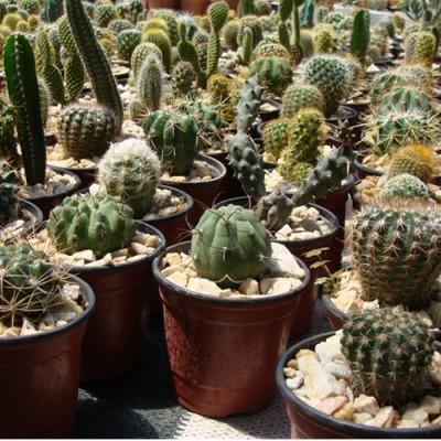 Cactus N9