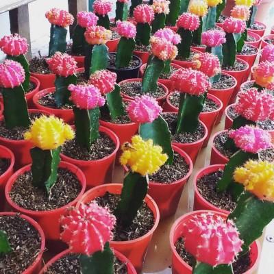 Cactus injertado en Maceta n9