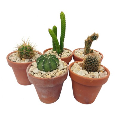 Cactus en maceta de barro N12