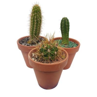 Cactus en maceta de barro N14