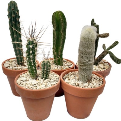 Cactus en maceta de barro N16