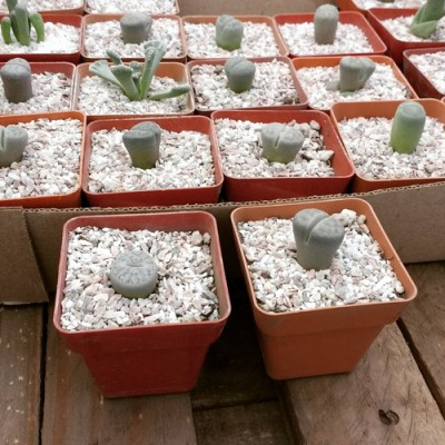 Lithops Cactus Piedra