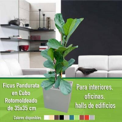 Ficus Pandurata en Cubo 35x35 cm.