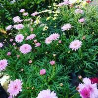 Margarita Rosa Crisantemo