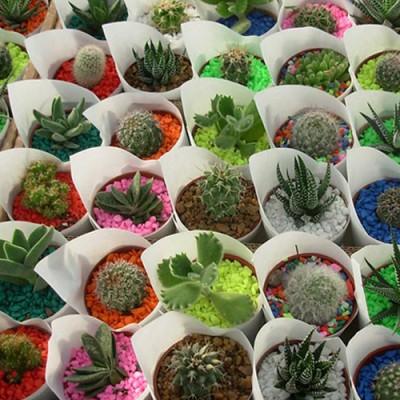 100 Mini Cactus y Suculentas x Cajón
