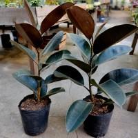 Ficus Elástica 4 Lts